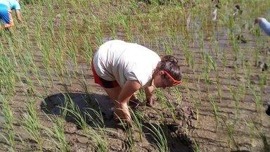 Volunteer rice planting