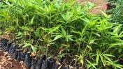 Bamboo Seedlings in tubes fill the frame