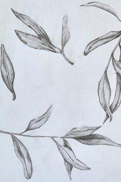 Darijan's sketches of olive leaves.