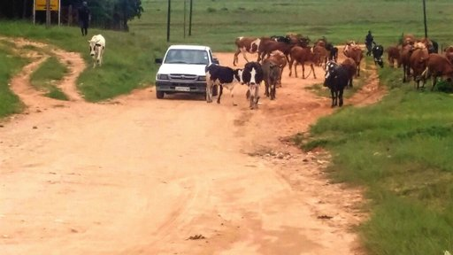 Morning traffic in the rural communities of Swaziland is a regular occurrence. Herd boys take the cattle to dip tanks and wat