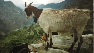 A goat stands on a rock overlooking the Myagdi river valley in Nepal.