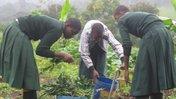 PermaGarden members rinsed sweet potato leaves.