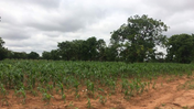 Maize field, Ghana