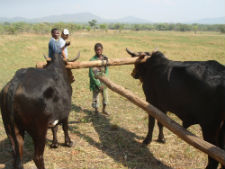 A Zambian community member learns cattle management techniques.
