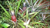 I planted these two pineapples in January of 1999. They will be ripe in about a year. Between October and December, pineapples and produce are more abundant in the market.