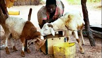 Cherno Jallow, 13, tends his sheep. The animals need water every day to survive.