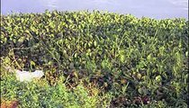 Water hyacinth is a weed that makes fishing and transportation on Lake Victoria nearly impossible.