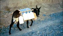 A donkey loaded up with the daily supply of water for a household returns home from the well. Donkeys and mules learn to find their way home without guidance—the owner of this one is back down the road.