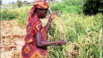 Deniya mint Ilmana harvests rice by cutting the stalks that she will carry back to the village in a basket. This rice is planted when the water is high and harvested after the water recedes.