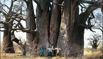 This giant baobab tree, thousands of years old, survives in the dry savannah because it requires little water. These adult men demonstrate its size.