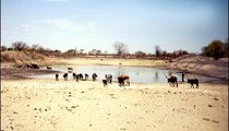 This is the only year-round water hole in the area. It receives a lot of traffic throughout the day as livestock and people come to get water.