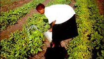 A student at the Girls' Secondary School waters the vegetables in the school garden. This is part of the students' afternoon duties.