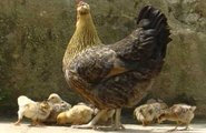 Raising Chickens, Empowering Youth